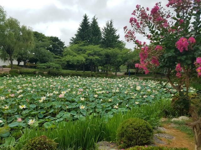 백일홍연꽃.jpg